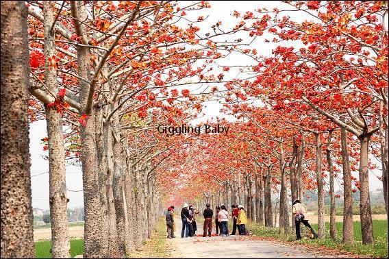 三市市树-木棉(三)